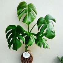 King Monstera Indoor Plants